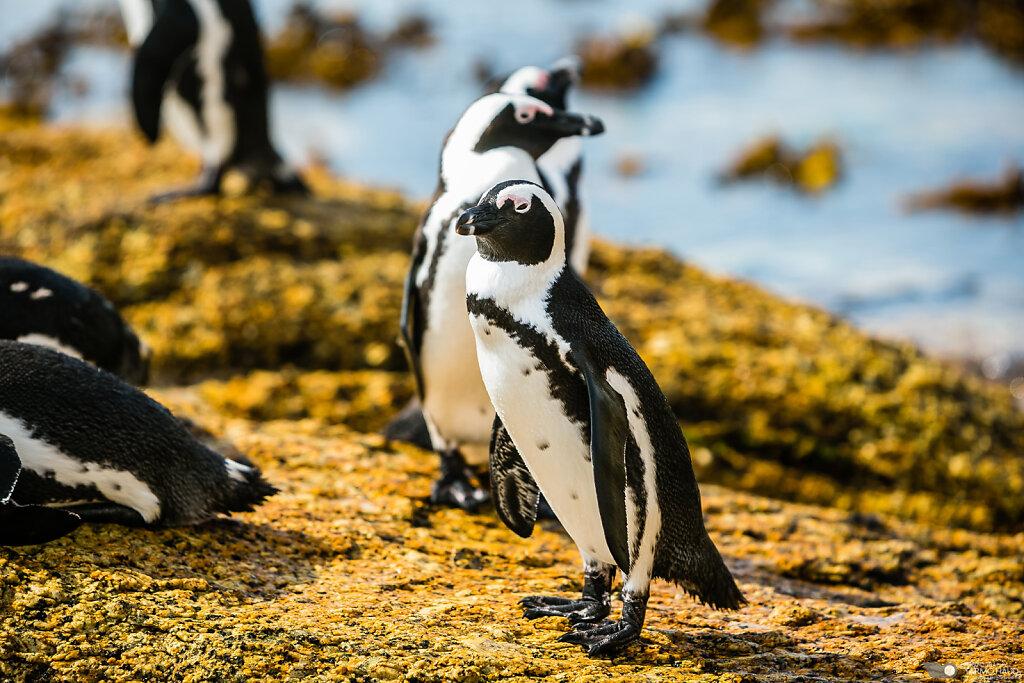 Penguins of Boulders Beach